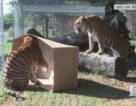 "Virales Video ""Große Kittys mögen auch Kartons"""