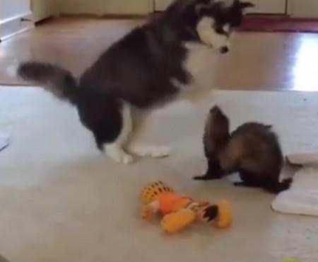 """Virales Video """"Husky-Baby und Frettchen sind allerbeste Freunde"""""""
