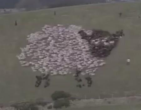 """Virales Video """"Kunst aus einer Schafherde kreieren"""""""