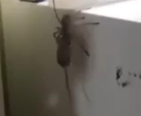 """Virales Video """"Spinne fängt und frisst Mäuse"""""""