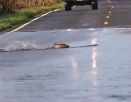 """Virales Video """"Fische überqueren die Straße"""""""