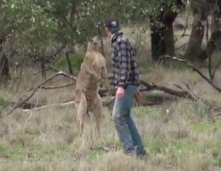 """Virales Video """"Mann rettet seinen Hund vor einem Känguru"""""""