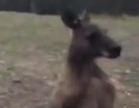 """Virales Video """"Känguru ohne jegliches Verständnis für Glas"""""""