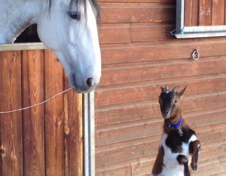 """Virales Video """"Pferd und Ziegenbock sind beste Freunde"""""""