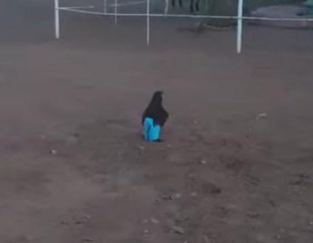 """Virales Video """"Huhn namens Charlie in blauen Hosen auf der Farm ganz lustig anzusehen"""""""