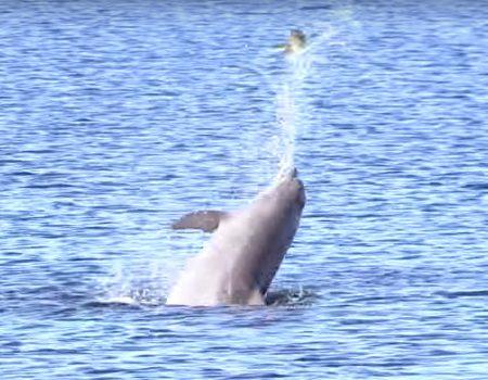 """Virales Video """"Delphin wirft vor Davis Island sein Fischfutter 13 Mal in die Luft"""""""
