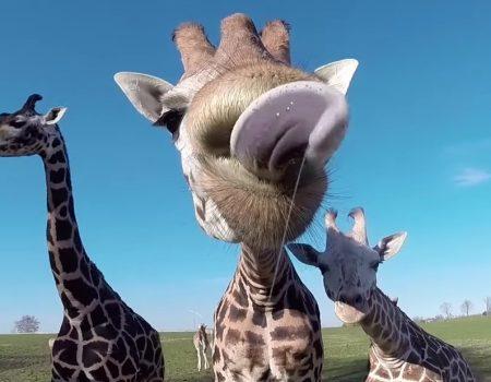 """Virales Video """"Zungige Angelegenheit bei einem Zoobesuch vor dem Giraffen-Gehege"""""""