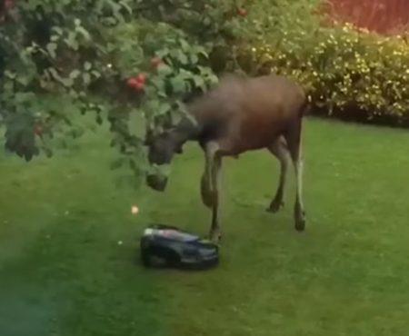 """Virales Video """"Elch versteht die Wunder der Technik nicht und greift Rasenmäher-Roboter an"""""""