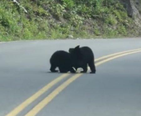"""Virales Video """"Zwei Bären-Babys ringen auf der Straße in der Nähe des Nationalparks in Montana"""""""