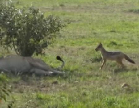 """Virales Video """"Ein Schakal ärgert einen Löwen während seines Mittagsschlafs und zieht ihm am Schwanz"""""""