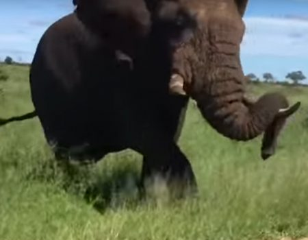 """Virales Video """"Wilder Elefant ist wohl etwas genervt von den täglichen Safari-Gaffern"""""""