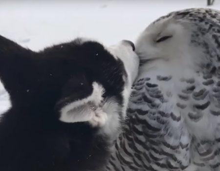 """Virales Video """"Eule und Husky knutschen einfach hemmungslos in der Öffentlichkeit herum"""""""