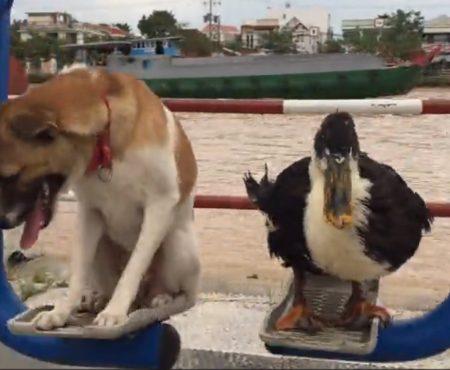"""Virales Video """"Dieser Hund und diese Ente sind beste Freunde und seit sie geboren wurden unzertrennliche Gesellen"""""""