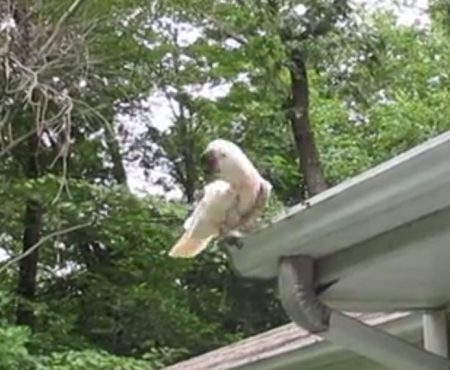 """Virales Video """"Absoluter Life-Hack aus New York zeigt wie ein Kakadu namens Cäsar sich nützlich macht und die Regenrinne säubert"""""""