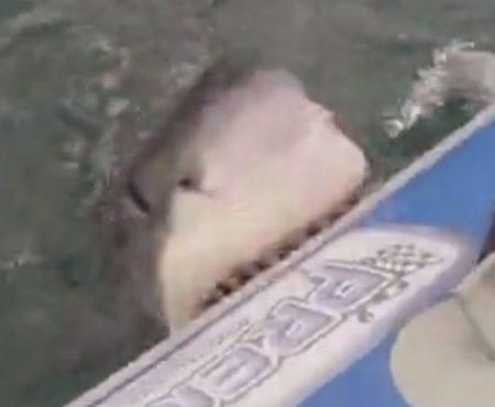 """Virales Video """"Großer weißer Hai verbeißt sich an einem Schlauchboot und versetzt eine Handvoll deutscher Touristen in Angst und Schrecken"""""""