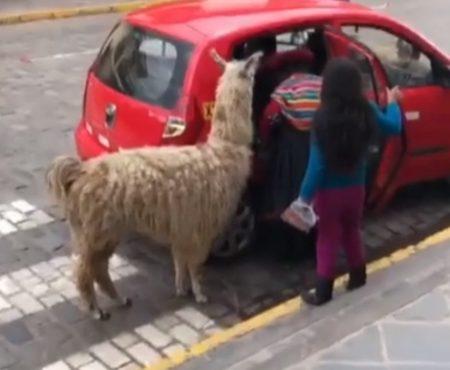 """Virales Video """"Wie ein Lama in ein kleines Taxi einsteigt, als wäre es das Normalste auf der Welt, wurde im südamerikanischen Peru beobachtet"""""""