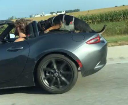 """Virales Video """"Hund fährt in Ohio, Amerika zwischen Jeffersonville und Columbus ungewöhnlich in einem Sportwagen mit"""""""