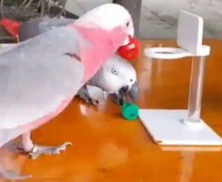 """Virales Video """"So sieht es aus wenn Papagei-Freunde aus Dong Nai in Vietnam gemeinsam eine Runde Basketball spielen"""""""