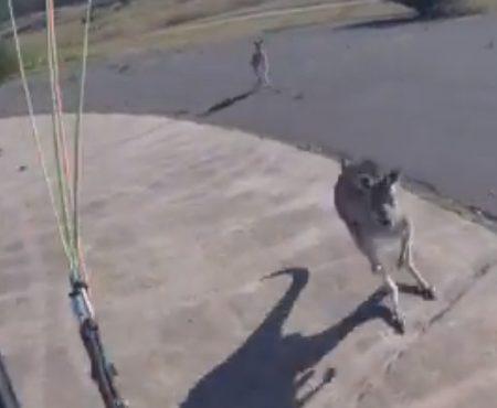 """Virales Video """"Känguru begrüßt Paragleiter mit einem eher unfreundlichen Faustschlag ins Gesicht in Canberra, Australien"""""""