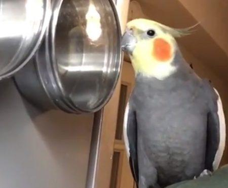 """Virales Video """"Kleiner Nymphensittich-Vogel singt zu seinem eigenen Beat und unterhält in der Küche die ganze Familie"""""""