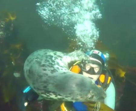 """Virales Video """"Freundliche Robbe spielt wie ein verrücktes Hündchen mit einem Taucher im Meer"""""""